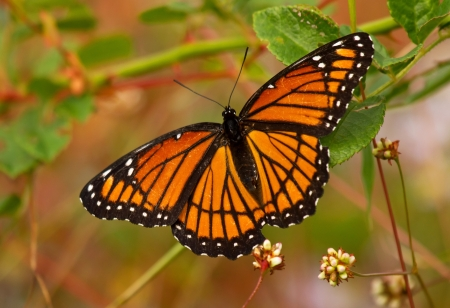 Viceroy butterfly feeding on meadow wildflowers in Maryland during the Autumn  Stock Photo