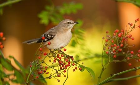 ruiseñor: Northern Mockingbird posado en un arbusto de frutas en Maryland durante el otoño