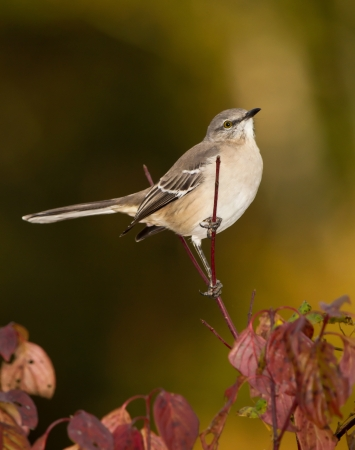 Northern Mockingbird perching in a tree in Maryland during the Autumn photo