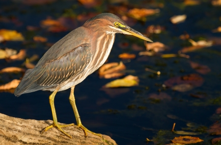 Green Heron caza junto a un lago en Maryland durante el oto�o photo