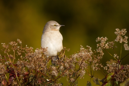 Northern Mockingbird perching in a bush in Maryland during the Autumn photo