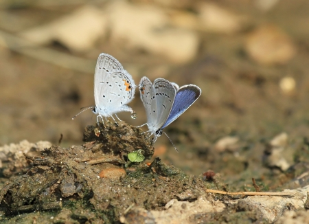 Two Eastern Tailed-Blue Butterflies mating in Maryland during the Summer photo