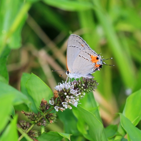 nectaring: Gray Hairstreak butterfly feeding on meadow wildflowers in Maryland during the Summer