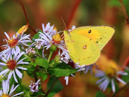 pieridae: Orange Sulphur butterfly feeding on daisies in Maryland during the Autumn Stock Photo