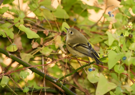 Ruby-crowned Kinglet perching in a shrub in Maryland during the Autumn