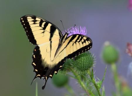 Eastern Tiger Schwalbenschwanz Schmetterling Futterung Auf Spear
