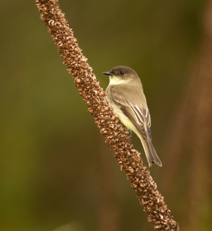 Eastern Phoebe perching on a wildflower stem in Maryland during the Autumn  photo