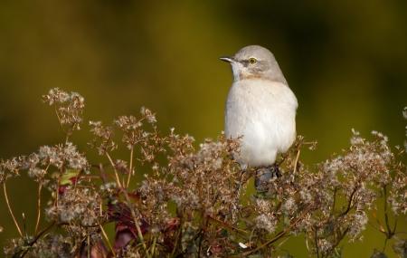 ruiseñor: Northern Mockingbird posado en un arbusto en Maryland durante el otoño Foto de archivo
