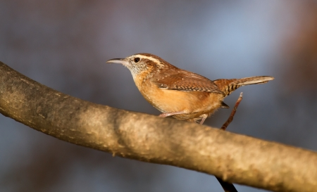 Carolina Wren perching on a branch in shady woodland in Maryland during the Autumn Stock Photo