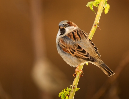 Male House Sparrow perching on a stem in Maryland during the Autumn