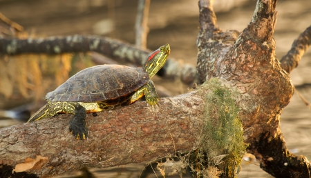 Adult Red-eared Slider pond turtle basking on a log in Maryland during the Autumn photo
