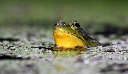 Northern Green Frog sitting in a pond in wetlands in Maryland during the summer photo