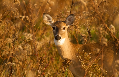 White-tailed Deer doe standing in meadow wildflowers in Maryland during the Autumn