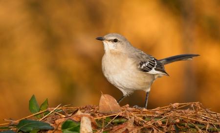 ruiseñor: Northern Mockingbird posado en un arbusto de zarza en Maryland durante el otoño