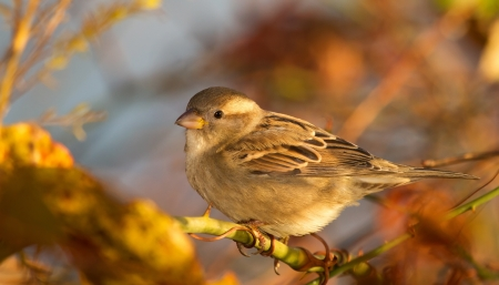 Female House Sparrow perching on a tree branch in Maryland during the Autumn photo