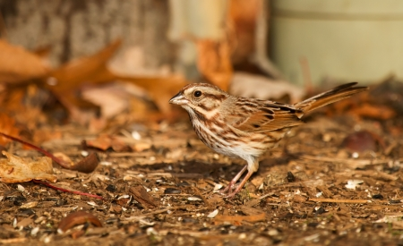 Song Sparrow foraging on the ground in Maryland during the Autumn