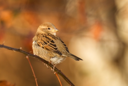Female House Sparrow perching on a twig in Maryland during the Autumn photo
