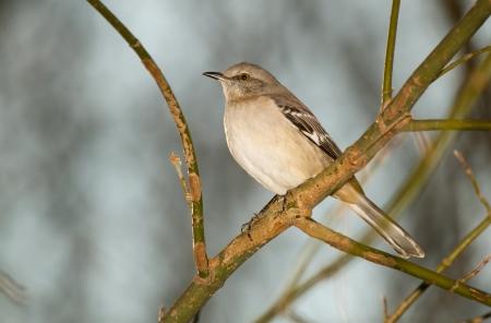 ruiseñor: Northern Mockingbird posado en una rama de árbol en Maryland durante el otoño