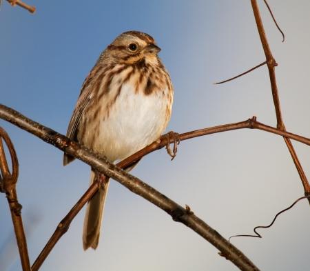 Canción Sparrow posado en una ramita en Maryland durante el otoño Foto de archivo - 16566529