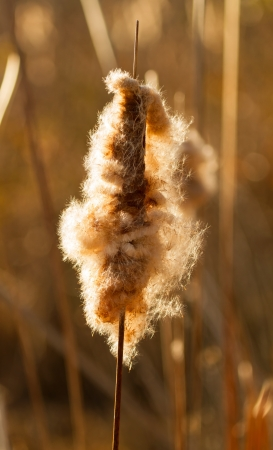 laden: Cattail head laden with seeds in a wetland area in Maryland during the Autumn
