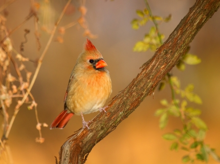 Female Northern Cardinal perching in a tree in Maryland during the Autumn photo