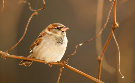 Male House Sparrow perching on a tree branch in Maryland during the Autumn