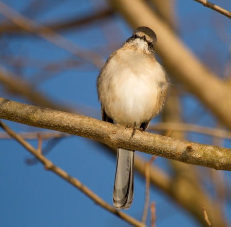 mockingbird: Northern Mockingbird perching in a tree in Maryland during the Autumn
