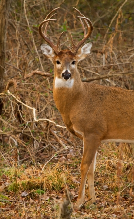 White-tailed Deer buck standing in woodland in Maryland during the Autumn