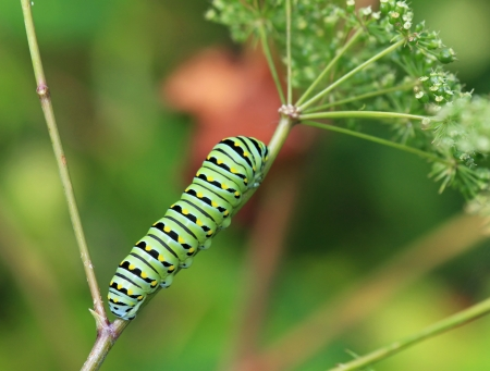 larval: Caterpillar stage of the Black Swallowtail butterfly in Maryland during the Summer