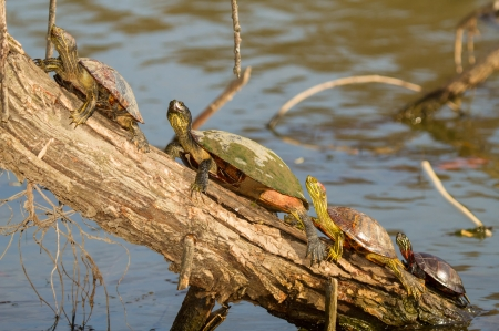 cooter: Two Red-eared Sliders, a Red-bellied Cooter and an Eastern Painted Turtle basking on a log in Maryland during the Autumn Stock Photo