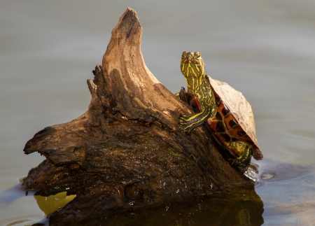 riparian: Young Red-eared Slider pond turtle basking on a log in Maryland during the Autumn