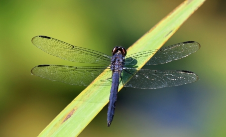 Slaty Skimmer dragonfly resting on a wildflower stem in Maryland during the Summer Stock Photo - 16760052