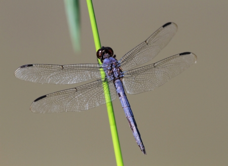 pruinescence: Slaty Skimmer dragonfly resting on a wildflower stem in Maryland during the Summer