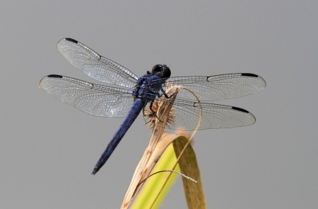 Slaty Skimmer dragonfly resting on a wildflower stem in Maryland during the Summer Stock Photo - 16760070
