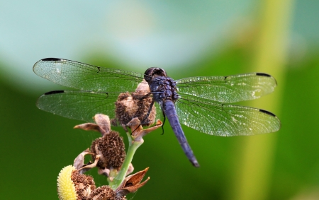 Slaty Skimmer dragonfly resting on a wildflower stem in Maryland during the Summer Stock Photo - 16760054