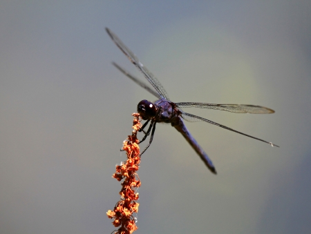 incesta: Slaty Skimmer dragonfly resting on a wildflower stem in Maryland during the Summer