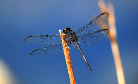Slaty Skimmer dragonfly resting on a wildflower stem in Maryland during the Summer Stock Photo - 16760076