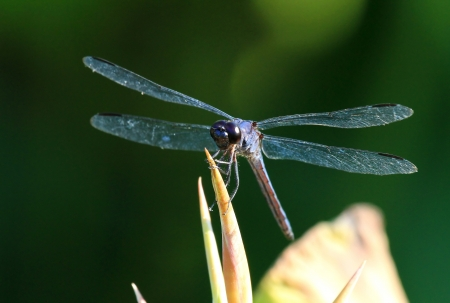 odonatology: Slaty Skimmer dragonfly resting on a wildflower stem in Maryland during the Summer