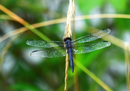 Slaty Skimmer dragonfly resting on a wildflower stem in Maryland during the Summer Stock Photo - 16760050