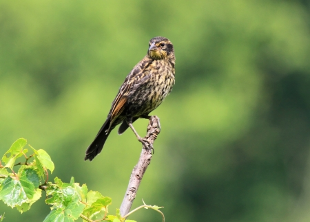 Female Red-Winged Blackbird perching on a twig in wetlands in Maryland during the Summer photo