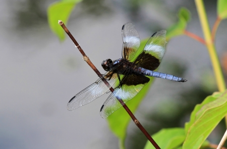 pruinescence: Widow Skimmer dragonfly perching on a twig in Maryland during the Summer
