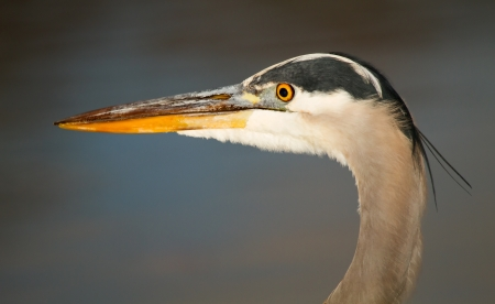 ardeidae: Detailed face of a Great Blue Heron in Maryland during the Autumn
