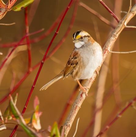 White-throated Sparrow perching in een struik in Maryland tijdens de herfst