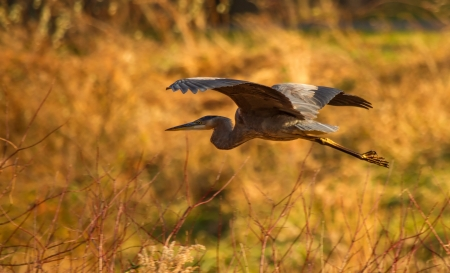 Great Blue Heron flying over a meadow at sunset in Maryland during the Autumn photo