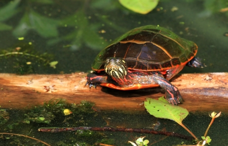 riparian: Eastern Painted Turtle looking forward while basking in the sun in Maryland during the summer