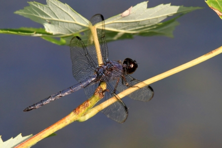 pruinose: Slaty Skimmer dragonfly resting on a wildflower stem in Maryland during the Summer