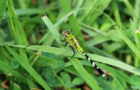simplicicollis: Female Eastern Pondhawk dragonfly resting on a grass stem in Maryland during the summer