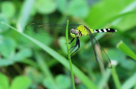 odonatology: Female Eastern Pondhawk dragonfly resting on a grass stem in Maryland during the summer