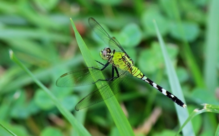 Female Eastern Pondhawk dragonfly resting on a grass stem in Maryland during the summer Stock Photo - 16883852