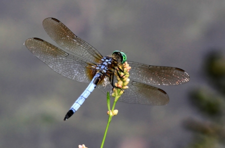 Male Blue Dasher dragonfly resting on a wildflower stem in Maryland during the summer Stock Photo - 16916520